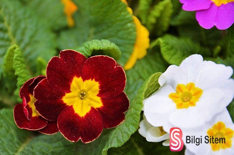 Çuha çiçeği