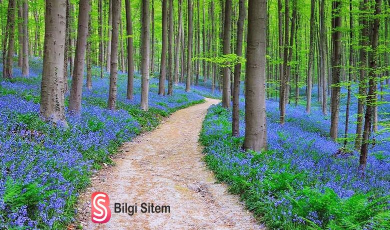 Hallerbos Ormanı – Belçika