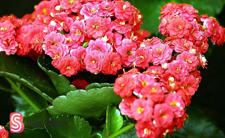 Kalanşo çiçeği