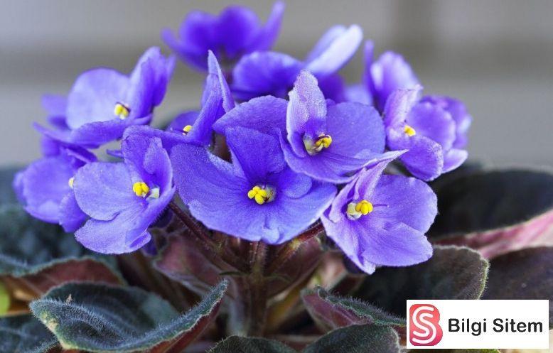 En Güzel 20 Saksı Çiçeği Afrika menekşesi