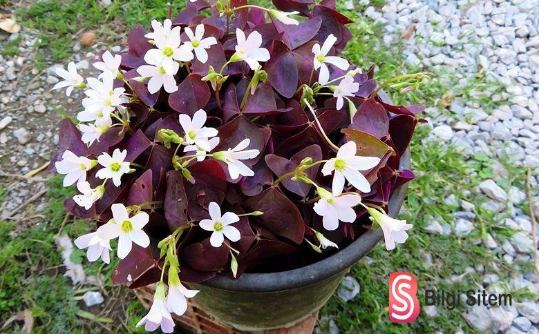 ekşiyonca çiçeği