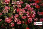 En Güzel 20 Saksı Çiçeği