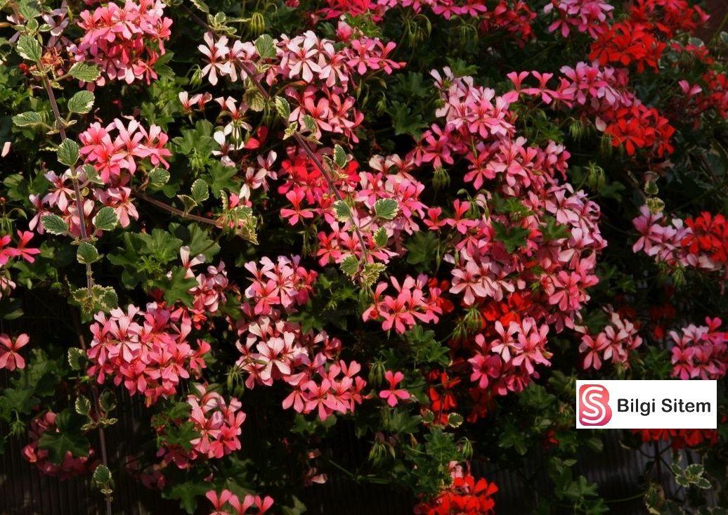 en güzel saksı çiçekleri