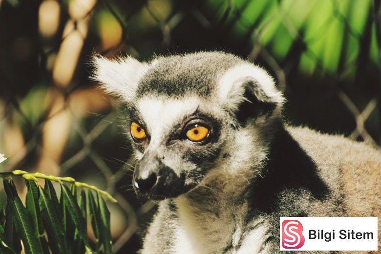 lemur Evde Beslenmesi Yasak Olan Hayvanlar