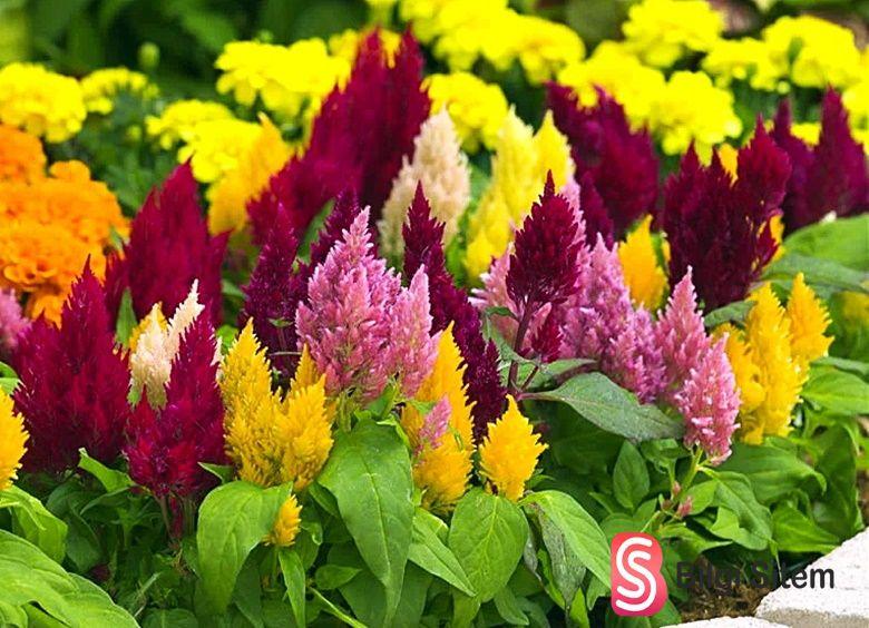püskül çiçeği