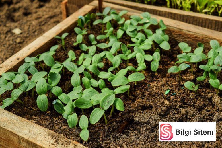 saksıda salatalık yetiştirmek