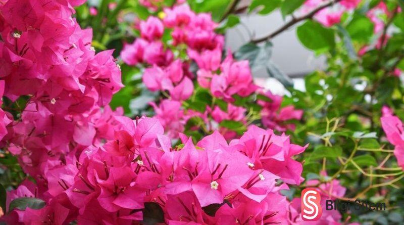 Begonvil Çiçeği Özellikleri, Bakımı ve Anlamı